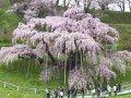 福島 三春町滝桜  サムネイル