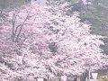 青森 弘前公園 東門前  桜 サムネイル