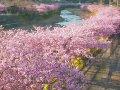 河津町ライブカメラ  桜 サムネイル