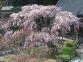 栃木 太山寺しだれ桜  サムネイル
