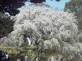 東京 六義園  桜 サムネイル