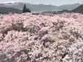 長野 高遠城址公園-高遠閣  桜 サムネイル