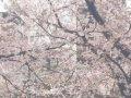 東京 中目黒目黒川並木  桜 サムネイル