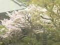 大阪太閤園  桜 サムネイル