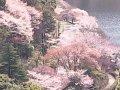 鹿児島 藺牟田池  桜 サムネイル