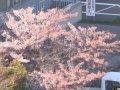 北海道 小樽  桜 サムネイル