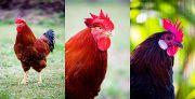 東海大学農学部 2017年 年賀状用写真 鶏 年賀状無料素材見本サムネイル